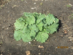 Rhubarb growing at Food Pantry garden site 4/26/2014.